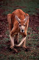 The red kangaroo is the world's largest marsupial. An average-sized red kangaroo stands about 1.5 metres (5 feet) tall, a bit shorter than an average human. They can often grow up to half a metre (20 inches) taller. An adult male can weigh 85 kg (185 lb), but on average are about 25% lighter than this.