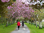 Strollers enjoy a pleasant walk down Cherry Tree Drive, the driveway lined with Cherry Blossom trees at Killarney House on Sunday. The trees surround by wild garlic on the ground are currently in full bloom..Picture by Don MacMonagle