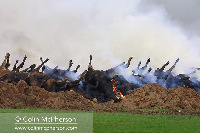 Burning cattle carcasses in a field outside Kirkpatrick Fleming on the first day of the foot and mouth crisis which showed no new cases of the disease in Dumfries and Galloway, Scotland's worst-affected region. The outbreak of foot-and-mouth disease in the United Kingdom in the spring and summer of 2001 caused a crisis in British agriculture and tourism and saw 2,000 cases of the disease in farms in most of the British countryside. Over 10 million sheep and cattle were killed in an eventually successful attempt to halt the disease.