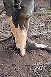 Tree damaged bark eaten by deer