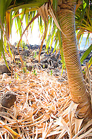 Lauhala plant used for thatching and mats, at an ancient Hawaiian village, Lapakahi State Historical Park