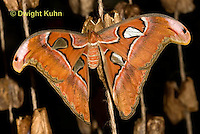 LE39-500z  Giant Night Butterfly, Cobra Moth, Attacus atlas