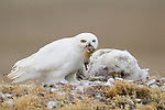 Adult male Snowy Owl (Bubo scandiacus) delivering a collared lemming to a female on the nest. The female is feeding a chick. Bathurst Island, Nunavut, Canada. June.
