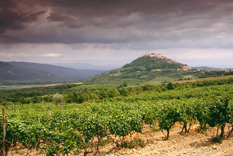 Vine yards outside Motovun, Croatia