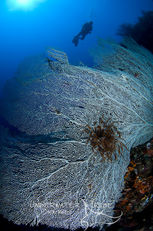 Seafan, Gorgonia sp., and diver silhouette, Boo Island, Raja Ampat, West Papua, Indonesia, Pacific Ocean