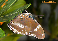 0101-0906  Common Great Eggfly Butterfly (Blue Moon Butterfly), Hypolimnas bolina, Central America © David Kuhn/Dwight Kuhn Photography