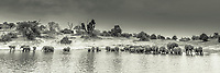 A large herd of African Elephants (Loxodonta africana) is standing in the river drinking water, sepia, panoramic view, Chobe National Park, Chobe River, Botswana, Africa