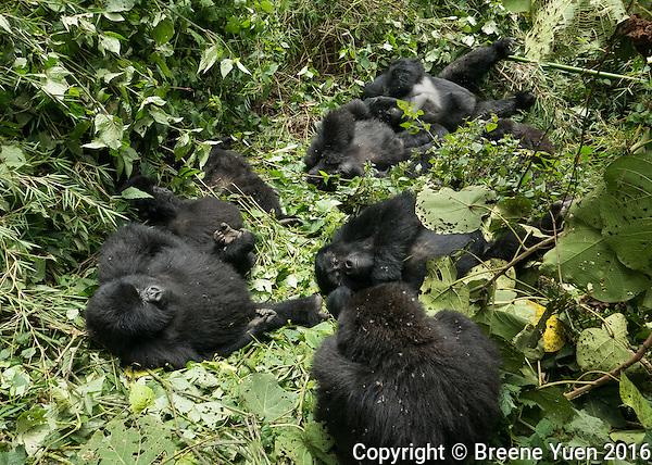 Gorilla Family Group Relaxing Rwanda 2015
