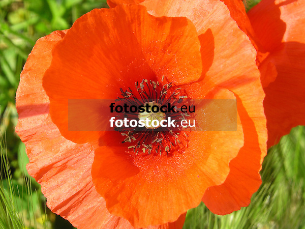close-up of a single full-blown poppy<br /> <br /> detalle de una amapola en flor<br /> <br /> Nahaufnahme einer einzelnen Mohnbl&uuml;te<br /> <br /> bot.: Papaver<br /> <br /> 2272 x 1704 px<br /> 150 dpi: 38,47 x 28,85 cm<br /> 300 dpi: 19,24 x 14,43 cm