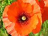 close-up of a single full-blown poppy<br /> <br /> detalle de una amapola en flor<br /> <br /> Nahaufnahme einer einzelnen Mohnbl&uuml;te<br /> <br /> bot.: Papaver<br /> <br /> 2272 x 1704 px<br /> 150 dpi: 38,47 x 28,85 cm<br /> 300 dpi: 19,24 x 14,43 cm
