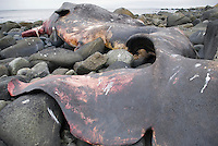 Beached Sperm whale on the rocky coast of Lofoten Islands in Arctic Norway