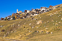 Sheep with November lambs graze on the slopes below  St. Veran, Europe?s highest inhabited village at 2040m.  Queyras, Hautes Alpes, Provence, France.