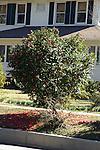Dead blossoms carpet the grass under a camilla bush.