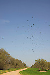 Israel, the northern Negev. Birds over Tamarisk trees near Rebuva well by Besor scenic road