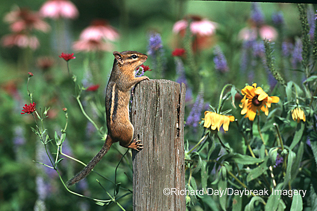 02051-001.06 Eastern Chipmunk (Tamais striatus) on fence post near flowers     Marion Co.   IL
