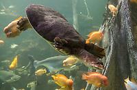 Schildkröte im Big Blue Shark Becken im Aquarium von Palma de Mallorca - Palma de Mallorca 26.05.2019: Aquarium von Mallorca in Plama
