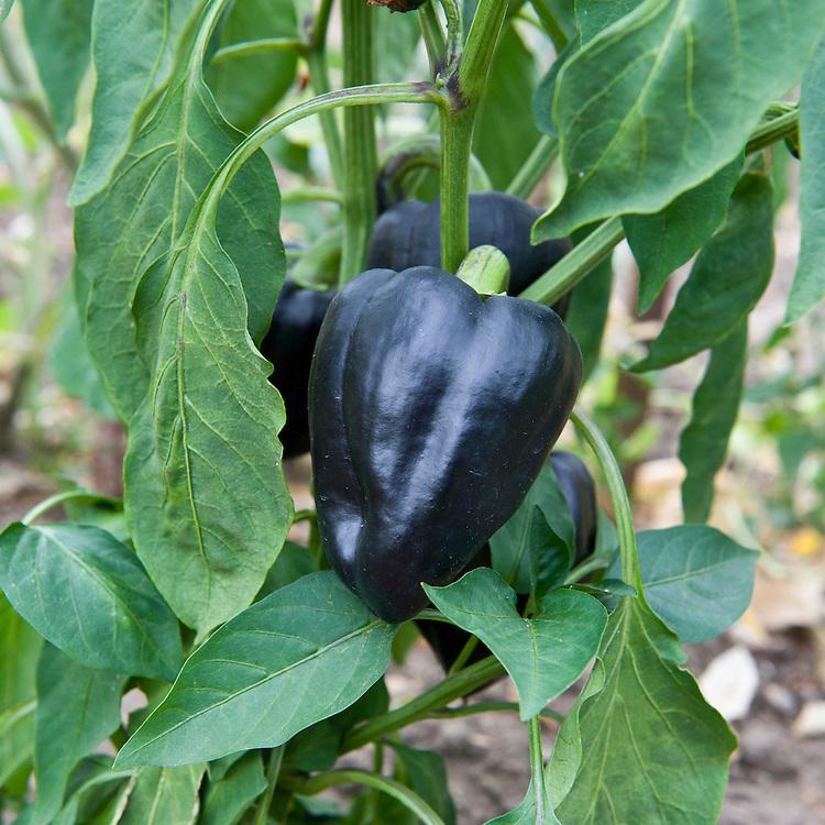 Sweet pepper 'Mavro's Purple', early August.
