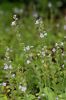 Echter Ehrenpreis, Wald-Ehrenpreis, Waldehrenpreis, Veronica officinalis, Heath Speedwell, Common Speedwell, Common Gypsyweed, Paul's Betony