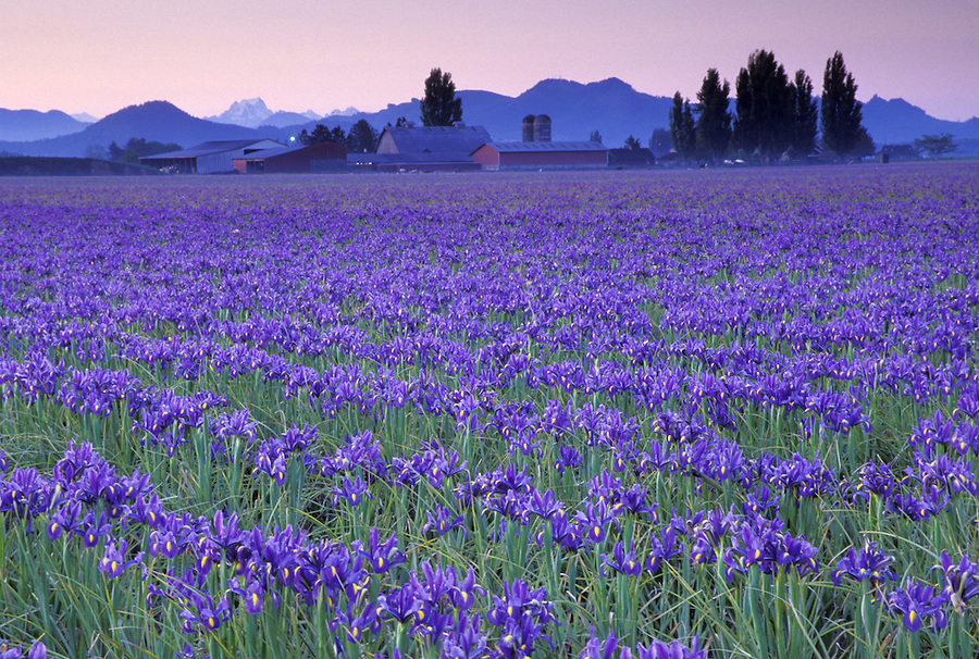Field of blue iris at sunrise, Mount Vernon, Skagit Valley, Washington