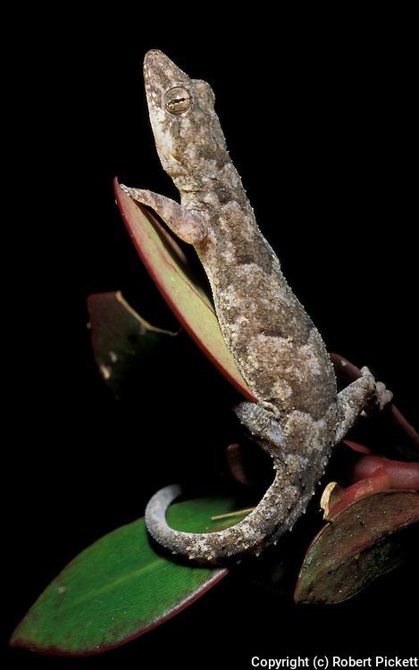Gecko, Sphaerodactylus species, Trinidad, on leaf, jungle.Trinidad....