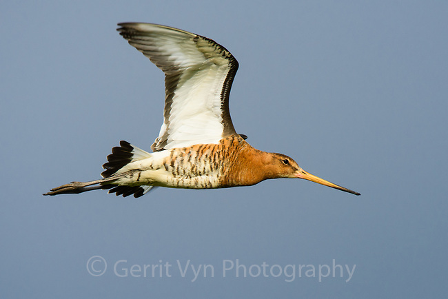 Black-tailed Godwit. Iceland.