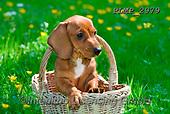 Marek, ANIMALS, REALISTISCHE TIERE, ANIMALES REALISTICOS, dogs, photos+++++,PLMP2979,#a#, EVERYDAY