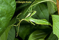 OR14-528z  Leaf Insect male, Phyllium spp., Phillipines