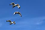 White Ibis in Flight, Everglades National Park
