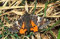 Großes Jungfernkind, Birken-Jungfernkind, Archiearis parthenias, orange underwing, l'Intruse, Bréphode du bouleau, Spanner, Geometridae, looper, loopers, geometer moths, geometer moth