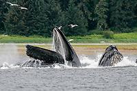 humpback whales, Megaptera novaeangliae, co-operatively 'bubble-net' feeding off Chichagof Island, Alaska, USA, Pacific Ocean