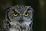 great horned owl,  FB 419 back small photo