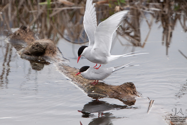 Arctic terns in mating ritual