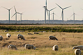 Sheep graze by the Npower Renewables wind farm at Little Cheyne Court,  Camber, Kent.