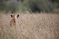 Camouflaged lioness sitting with her back to the camera in long dry grass with only her head visible watching for prey in the Masai Mara Reserve, Kenya, Africa (photo by Wildlife Photographer Matt Considine)