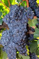 Bunches of ripe grapes. Merlot. Castel del Remei, Costers del Segre, Catalonia, Spain.