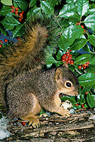 Fox squirrel eating an acorn near holly bush on a snowy day