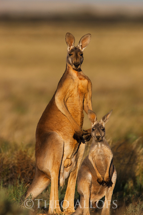 Australia,  NSW, Sturt National Park; red kangaroo male and female(Macropus rufus); the red kangaroo population increased dramatically after the recent rains in the previous 3 years following 8 years of drought