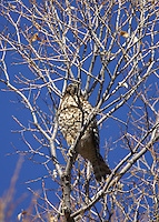 Hawk - Red-Shouldered