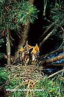 01382-00712 American Robin (Turdus migratorius)  nestlings in white pine tree. Marion Co. IL