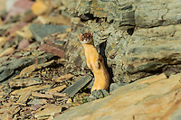 Long-tailed Weasel (Mustela frenata) standing on hind legs.  Northern Rocky Mountains.  Sept.