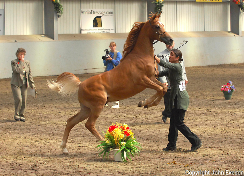 Showing Arab colt, Myercough, Lancashire