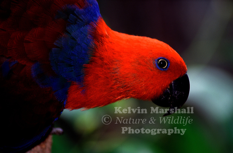 The Eclectus Parrot, Eclectus roratus, is a parrot native to the Solomon Islands, Sumba, New Guinea and nearby islands, northeastern Australia and the Maluku Islands (Moluccas). It is unusual in the parrot family for its extreme sexual dimorphism of the colours of the plumage; the male having a mostly bright green plumage and the female a mostly bright red and purple/blue plumage.