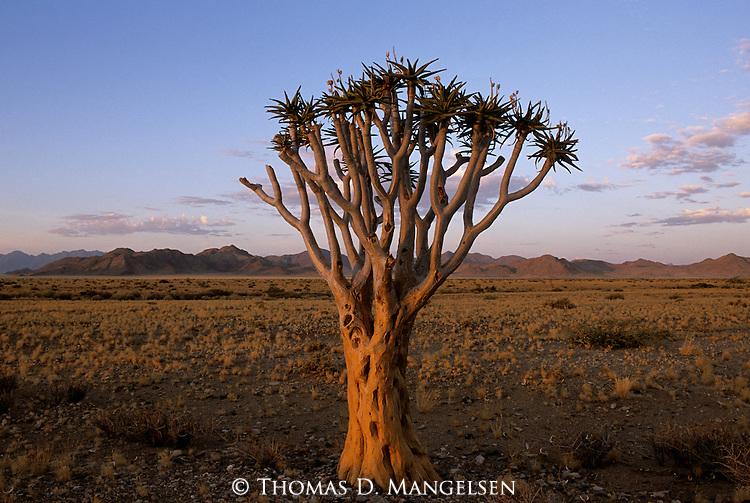 Lone tree in the desert of Dead Flei, Namibia.