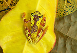 Variegated Treefrog, Panama
