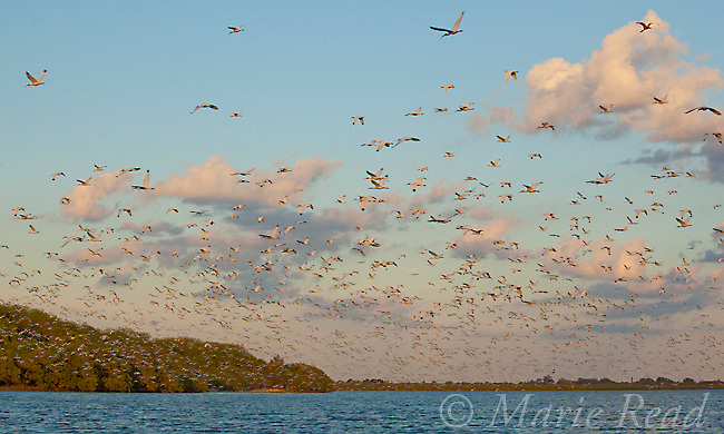 Flock of White Ibis (Eudocimus albus) in breeding plumage, flying at sunset toward the mangrove-covered island that forms their rookery, Tampa Bay, Florida, USA