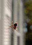 Spider who lives outside my apartment in West Babylon, NY on September 11, 2008. Photo by Jim Peppler. Copyright Jim Peppler/2008.