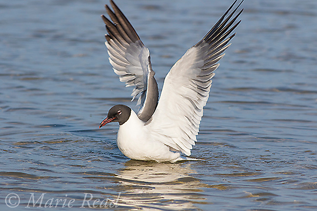 Laughing Gull (Larus atricilla) breeding plumage, <br /> flapping wings after bathing, Fort De Soto Park, Florida, USA