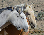 Horses of the same family band gather closely at the Sand Wash Basin Wild Horse Management BLM area in northwest Colorado