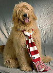 Labradoodle with holiday scarf