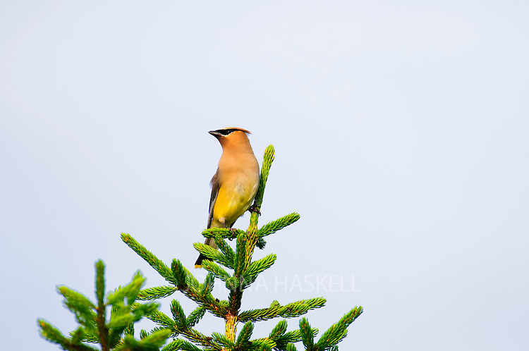 Cedar Waxwing on evergreen.